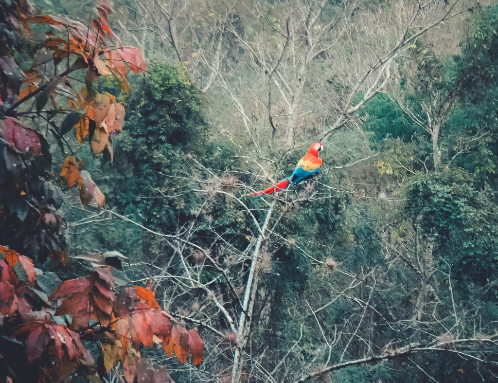 honduras-copan-papagei