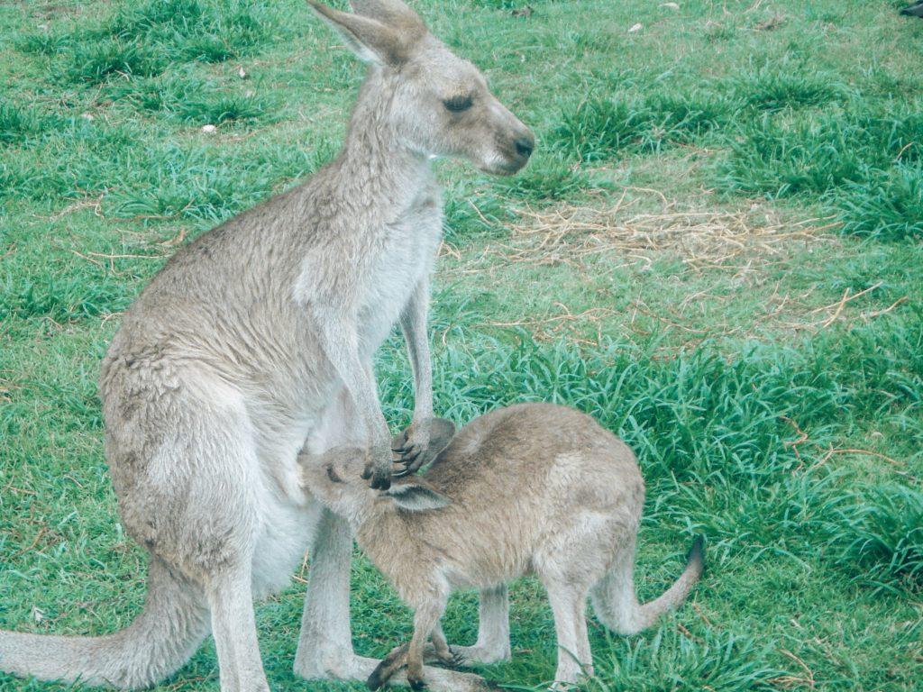 känguruh-australien-brisbane