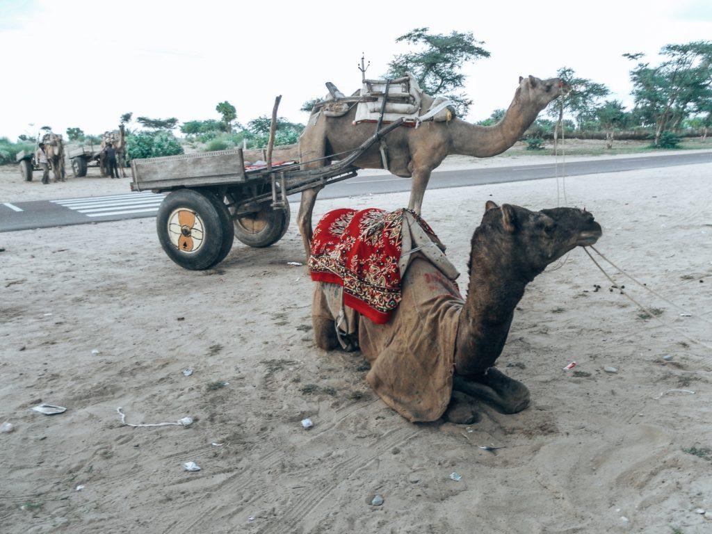 kamel-jaisalmer-indien
