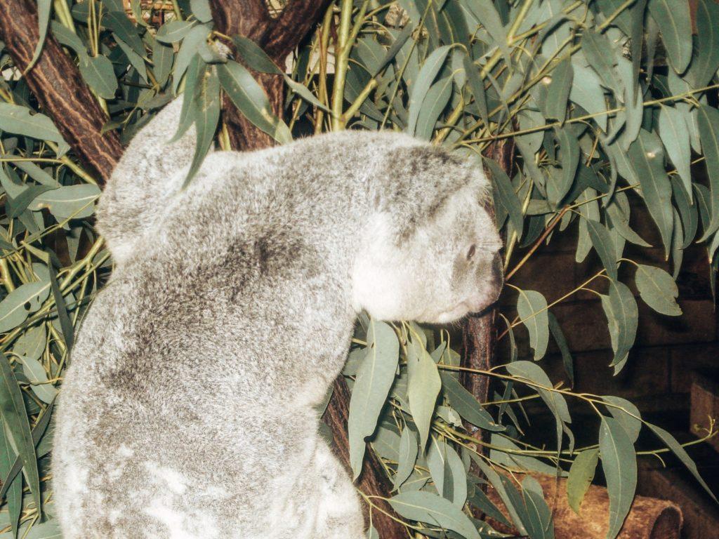 koala-sanctuary-brisbane